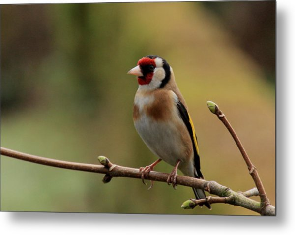 Goldfinch Metal Print by Peter Skelton