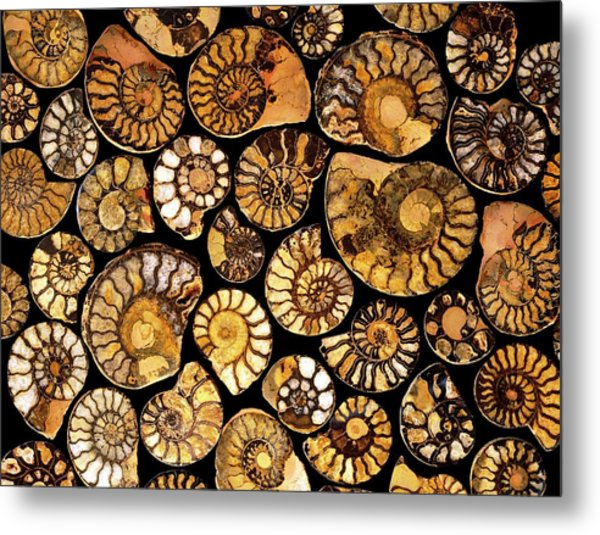 Goniatite Fossils Metal Print by Vaughan Fleming/science Photo Library