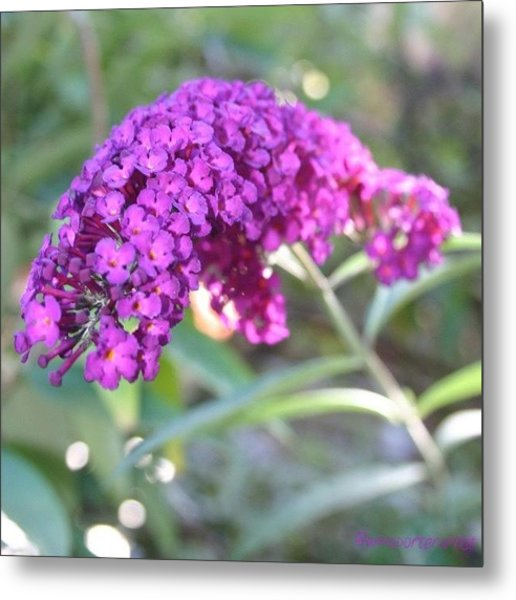 Good Morning Purple Butterfly Bush Metal Print