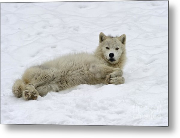 Good Wolfie ... Metal Print