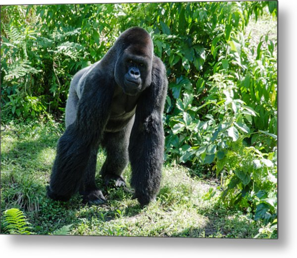 Gorilla In The Midst Metal Print