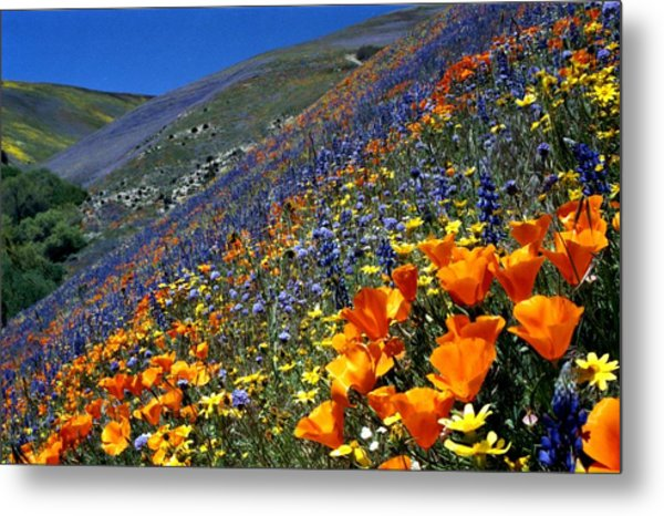 Gorman Flower Field In Full Bloom Metal Print