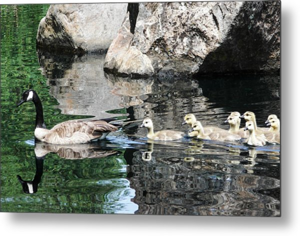 Goslings Reflection Metal Print