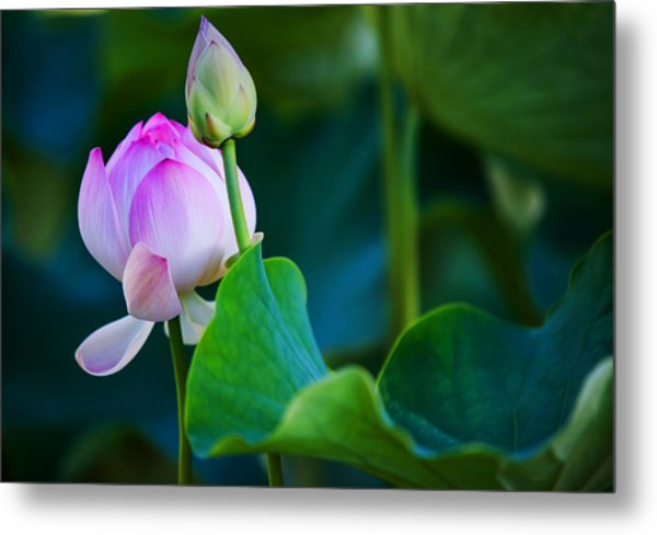 Graceful Lotus. Pamplemousses Botanical Garden. Mauritius Metal Print