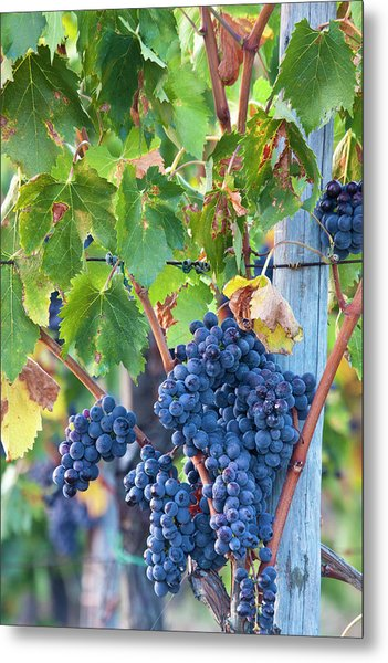 Grapes Ready For Harvest On The Tuscan Metal Print