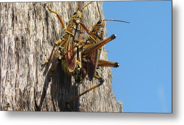 Grasshoppers Metal Print