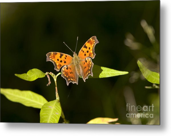 Gray Comma Butterfly Metal Print