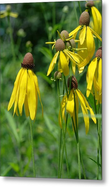 Metal Print featuring the photograph Gray-headed Coneflower Group by Daniel Reed