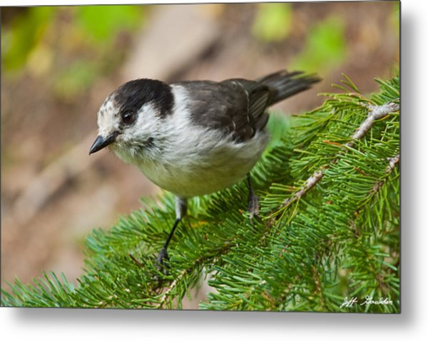 Gray Jay On Fir Tree Metal Print