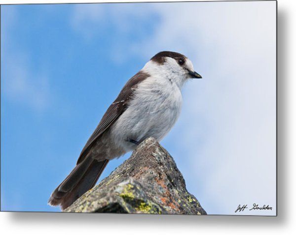 Gray Jay With Blue Sky Background Metal Print