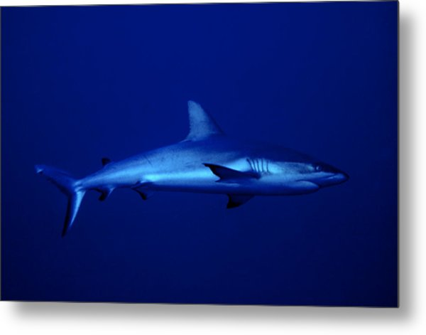 Gray Reef Shark Metal Print
