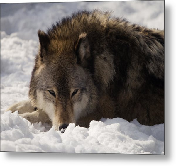 Gray Wolf In Snow Metal Print