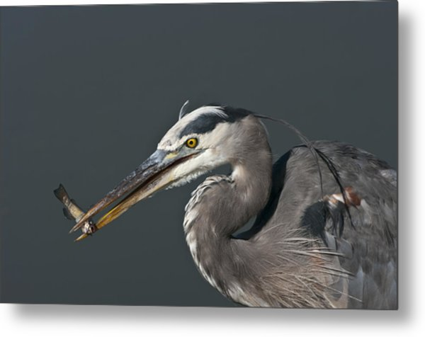 Great Blue Heron - 7345 Metal Print