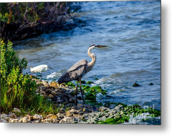 Great Blue Heron And Snowy Egret At Dinner Time Metal Print