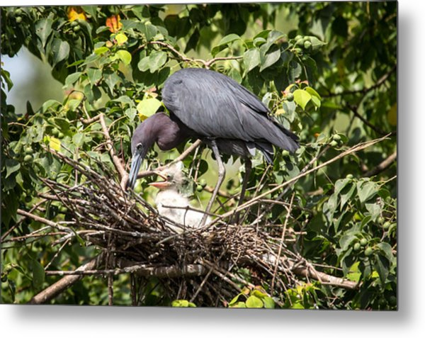 Great Blue Heron Chicks In Nest Metal Print