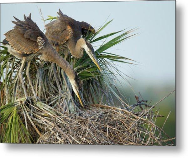 Great Blue Heron Chicks In Nest Looking Metal Print
