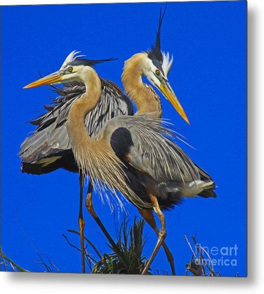Great Blue Heron Family Metal Print