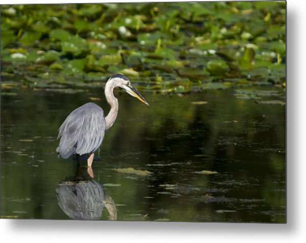 Great Blue Heron Hunting Metal Print