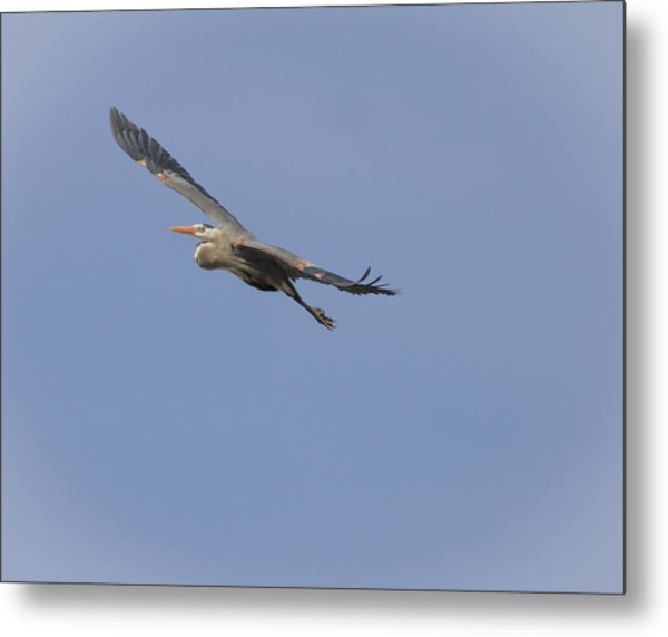 Great Blue Heron In Flight-2 Metal Print