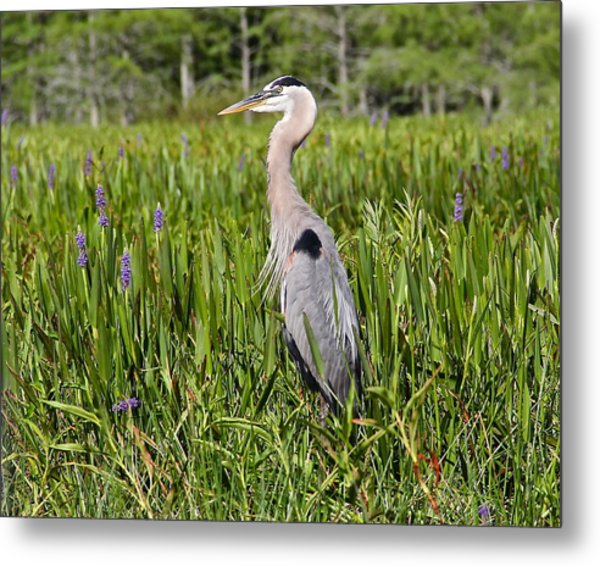 Great Blue Heron In Pickerel Plants Metal Print