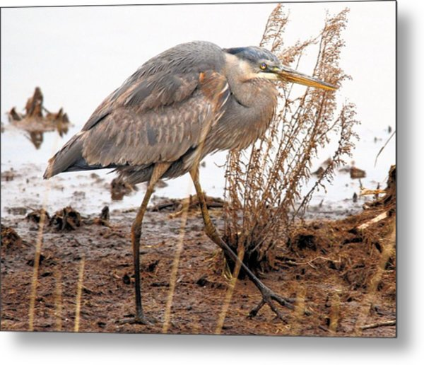 Great Blue Heron Metal Print by Linda  Barone