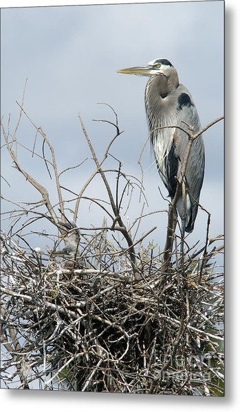 Great Blue Heron Nest With New Chicks Metal Print
