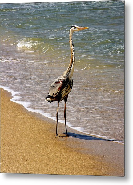 Great Blue Heron On The Surf. Metal Print