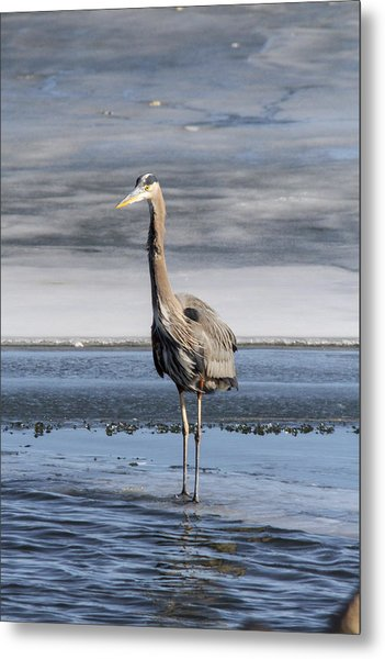 Great Blue Heron Portrait Metal Print by Jill Bell