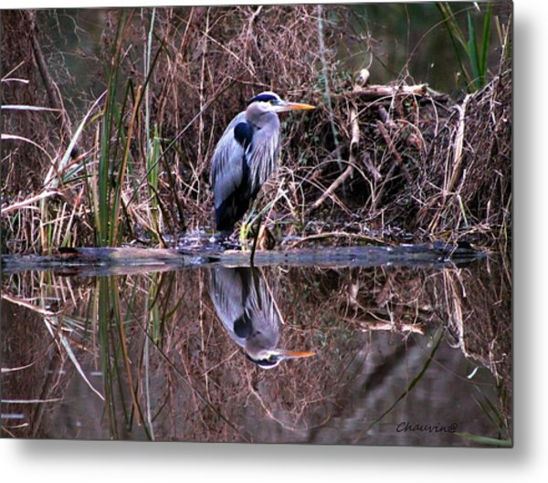 Great Blue Heron Reflecting Metal Print by Gene Chauvin