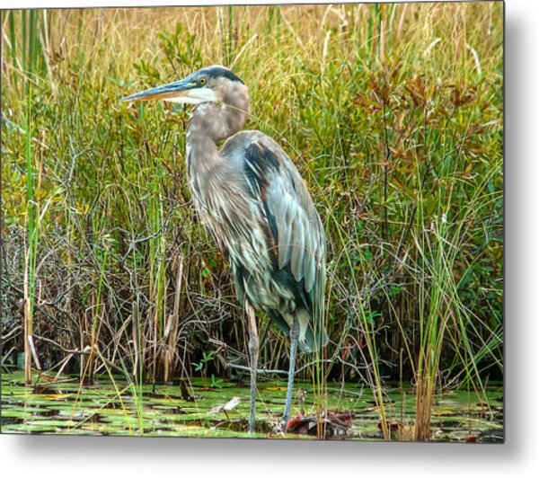 Great Blue Heron Waiting For Supper Metal Print