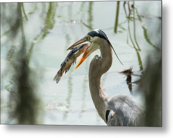 Great Blue Heron With Fish In Mouth Metal Print