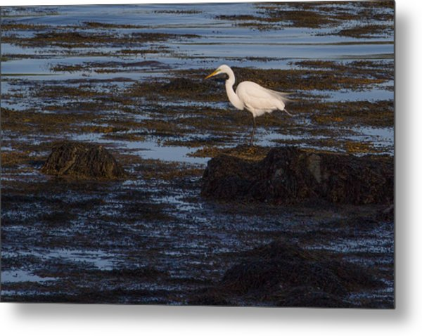 Great Egret At Avery Point Metal Print