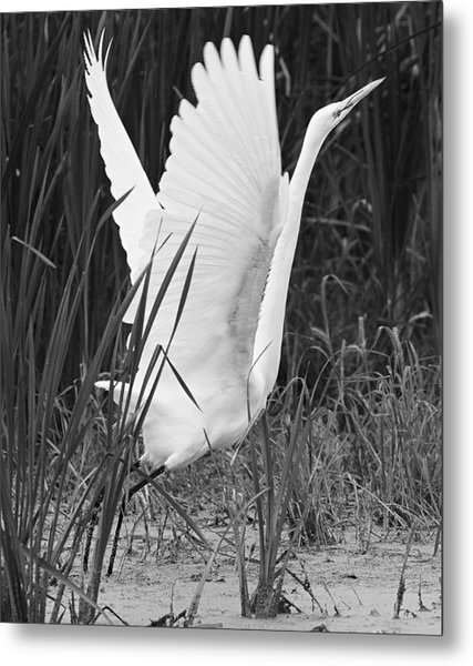 Great Egret In Black And White Metal Print by Ricky L Jones