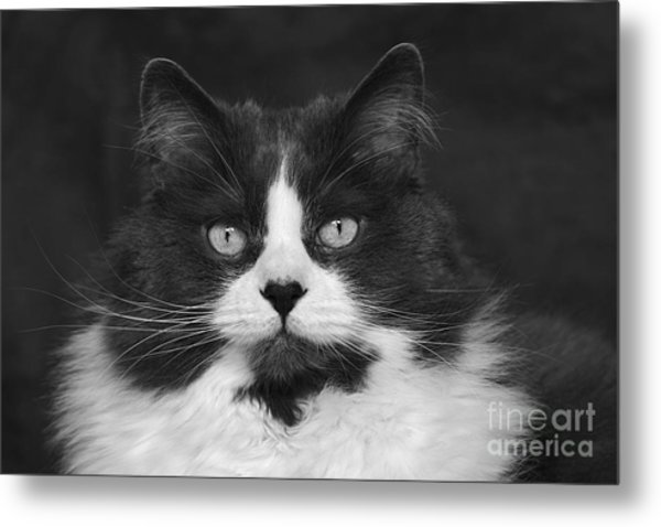 Great Gray Cat Metal Print