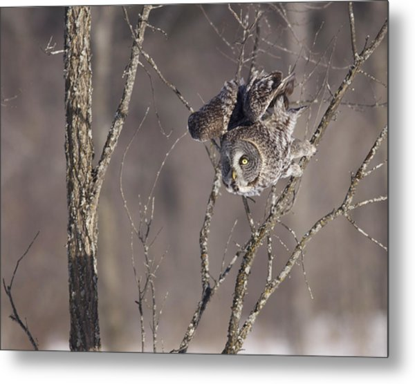 Great Gray Owl Metal Print by Brian Magnier