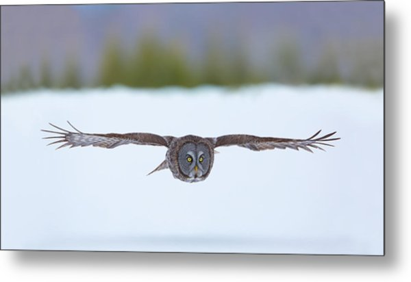 Great Gray Owl On The Hunt Metal Print