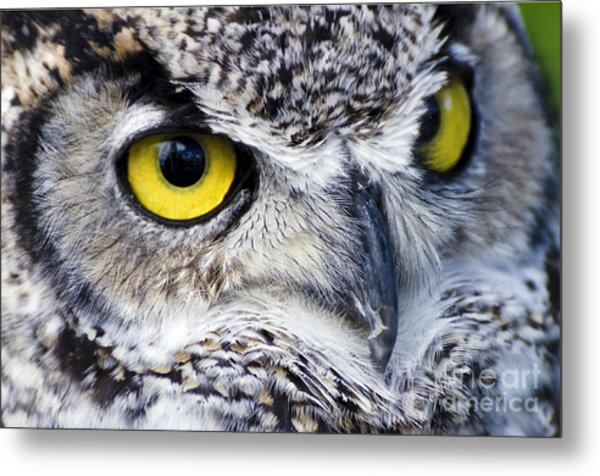 Great Horned Closeup Metal Print