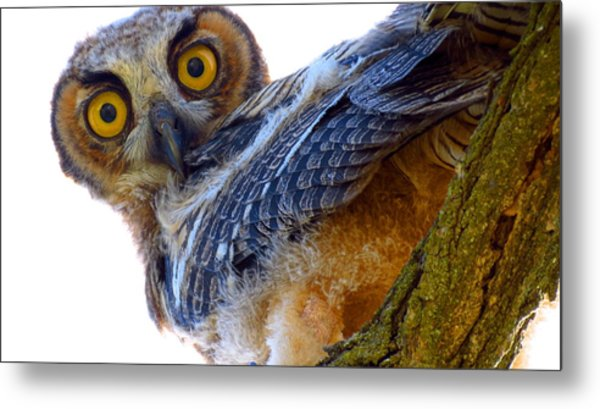 Great Horned Owl Metal Print by Catherine Natalia  Roche