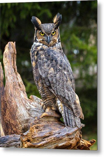 Great Horned Owl Metal Print by Craig Brown