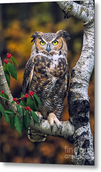 Great Horned Owl Metal Print by Todd Bielby