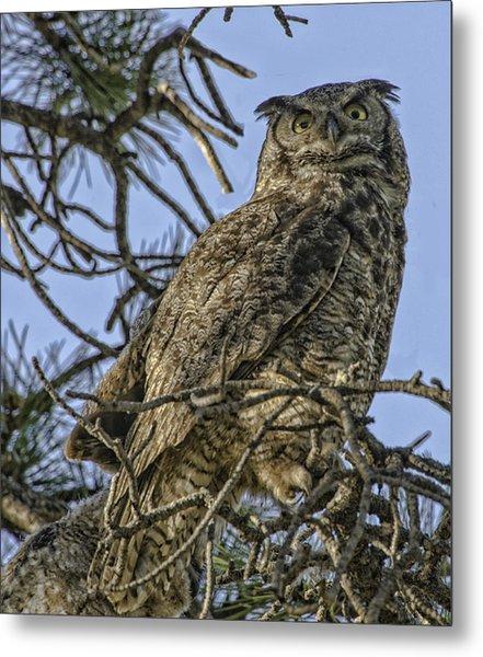 Great Horned Owl Metal Print by Tom Wilbert