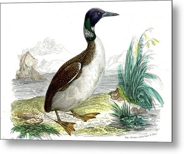 Great Northern Loon Metal Print by Collection Abecasis