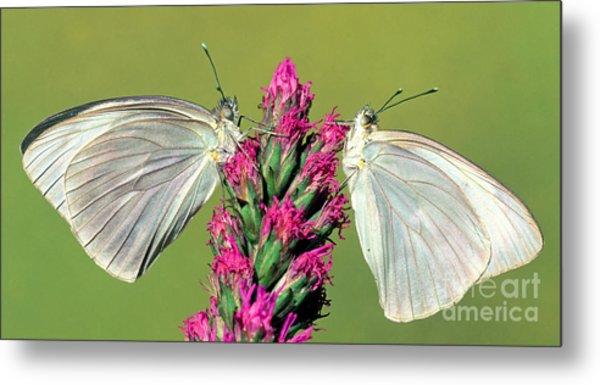 Great Southern White Butterflies Metal Print