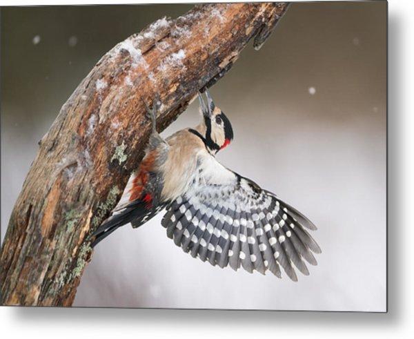 Great Spotted Woodpecker Male Sweden Metal Print