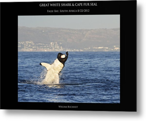 Great White And Seal Metal Print by William Buchheit