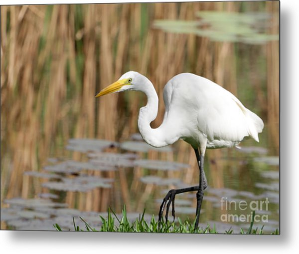 Great White Egret By The River Metal Print