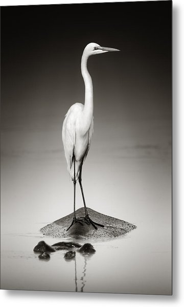 Great White Egret On Hippo Metal Print