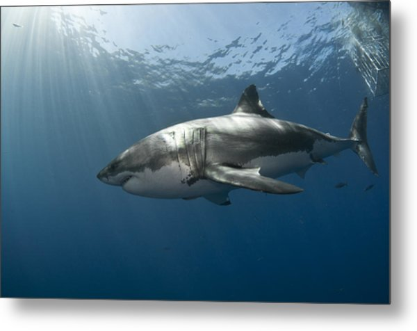 Great White Rays Metal Print by David Valencia