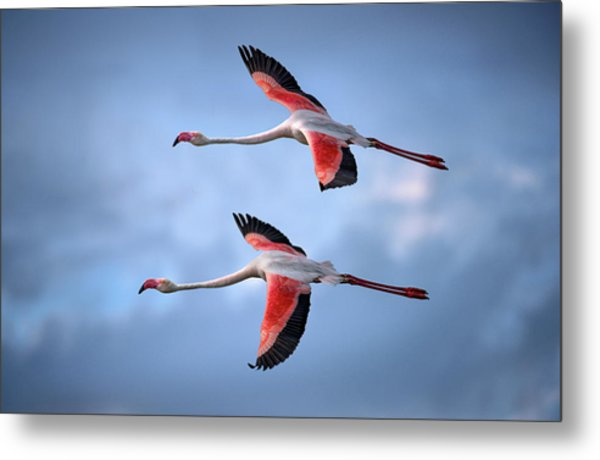 Greater Flamingos Metal Print by Xavier Ortega