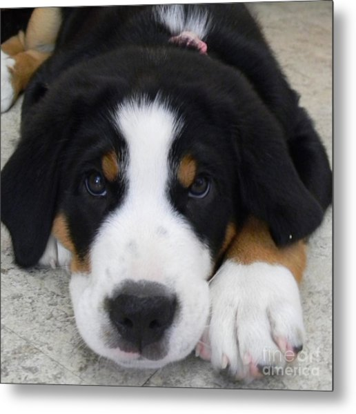 Greater Swiss Mountain Dog Metal Print